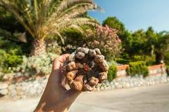 Большая шишка в руке на предпосылке пальм и растительности на солнечный день на каникулах стоковое изображение