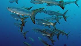 Большая школа рыб барракуды Шеврона видеоматериал