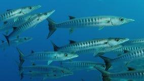 Большая школа рыб барракуды Шеврона сток-видео