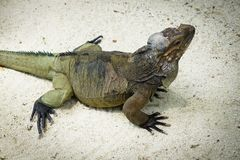 Большая ящерица в зоопарке стоковые изображения