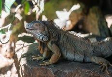 Большая ящерица игуаны Стоковые Фотографии RF