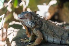 Большая ящерица игуаны Стоковая Фотография