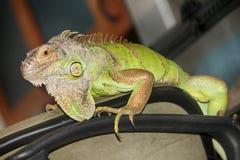 Большая, arboreal, тропическая американская ящерица с колючим гребнем вдоль заднего и зеленоватого колорита, изредка, который дер стоковая фотография rf