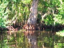 Большее болото Cypress стоковая фотография