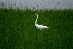 Большее положение Egret в зеленой траве болота пока оно идет дождь стоковые фотографии rf