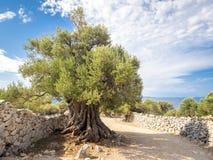 Больше чем 1600 лет старого одичалого оливкового дерева стоковые фотографии rf