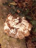 большие белые и коричневые грибки грибка кронштейна растя на мертвом дереве Стоковое Изображение RF