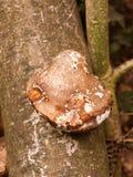 большие белые и коричневые грибки грибка кронштейна растя на мертвом дереве Стоковое Изображение