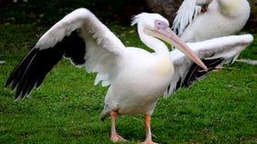 Большие белые пеликаны в зоопарке сток-видео
