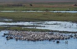 Большие белые пеликаны на реке Chobe границы, Ботсване, Намибии стоковое фото rf