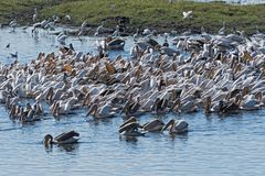 Большие белые пеликаны на реке Chobe границы, Ботсване, Намибии стоковое фото