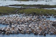 Большие белые пеликаны на реке Chobe границы, Ботсване, Намибии стоковое изображение