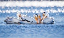 Большие белые пеликаны собирают совместно для удить стоковые фото
