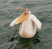 Большие белые пеликаны с их ртами раскрывают стоковое фото