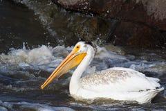Большие белые пеликаны (onocrotalus Pelecanus) летая сверх к далекому северу для сопрягать на невольничьем реке, речных порогах п стоковая фотография