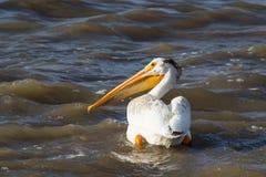 Большие белые пеликаны (onocrotalus Pelecanus) летая сверх к далекому северу для сопрягать на невольничьем реке, речных порогах п стоковое изображение