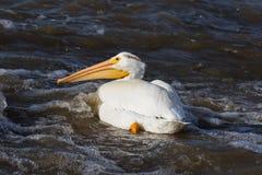 Большие белые пеликаны (onocrotalus Pelecanus) летая сверх к далекому северу для сопрягать на невольничьем реке, речных порогах п стоковое изображение rf