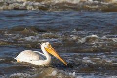 Большие белые пеликаны (onocrotalus Pelecanus) летая сверх к далекому северу для сопрягать на невольничьем реке, речных порогах п стоковые изображения
