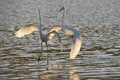 Большие белые egrets приземляясь на озеро Стоковые Изображения