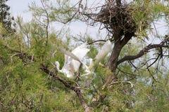 Большие белые egrets (Ardea alba) в Camargue Стоковые Изображения