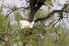 Большие белые egrets (Ardea alba) в Camargue Стоковые Изображения RF