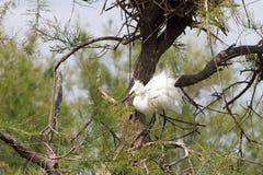 Большие белые egrets (Ardea alba) в Camargue Стоковая Фотография