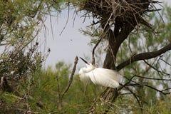 Большие белые egrets (Ardea alba) в Camargue Стоковая Фотография RF