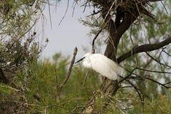 Большие белые egrets (Ardea alba) в Camargue Стоковое Изображение