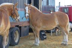 Большие бельгийские лошади проекта связанные для того чтобы транспортировать тележки Стоковые Изображения
