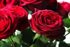 Большие бутоны красной розы в макросе стоковые изображения rf