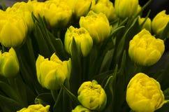 Большие бутоны пестротканых тюльпанов Флористическая естественная предпосылка стоковое фото