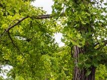 Большие ветви дерева в парке Стоковое Изображение