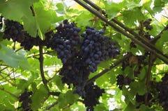 Большие группы виноградин Стоковое фото RF