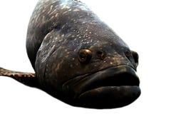 большие губы рыб Стоковая Фотография