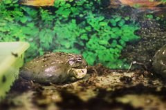 Большие жабы в terrarium стоковые изображения rf