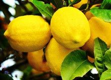 Большие желтые лимоны Стоковое фото RF