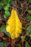 Большие желтые лист на поле леса Стоковые Фотографии RF