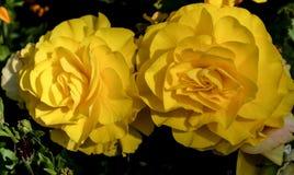 Большие желтые розы в солнечности Стоковые Фото