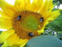 Большие желтые солнцецвет и шмели Стоковые Изображения RF
