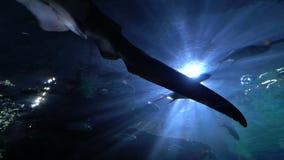 Большие заплывы акулы зебры под водой в глубине Пятнистая крася акула с длинным хвостом, нижний взгляд видеоматериал