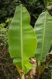 Большие зеленые листья банана Стоковые Фото