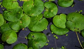 Большие зеленые листья лилий воды на воде Стоковые Фотографии RF