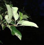 Большие зеленые листья яблок стоковые фото