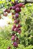 Большие зрелые сливы на ветви в саде стоковые фотографии rf