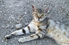 Большие изображения кота глаз, большие рассеянные коты, глаза кота самое красивое слушаемые коты, самые красивые глаза кота, изоб Стоковое Изображение