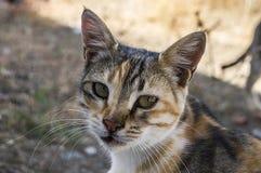 Большие изображения кота глаз, большие рассеянные коты, глаза кота самое красивое слушаемые коты, самые красивые глаза кота, изоб Стоковое Изображение RF