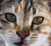 Большие изображения кота глаз, большие рассеянные коты, глаза кота самое красивое слушаемые коты, самые красивые глаза кота, изоб Стоковые Фотографии RF