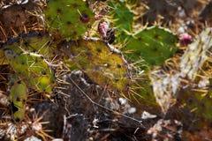 Большие кактусы в горах стоковое изображение