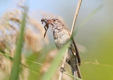 Большие камышовые задвижка и владение певчей птицы внутри клюют маленькую лягушку Стоковое Изображение RF