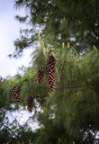 Большие конусы сосенки вися на ветви вала Стоковое Фото